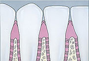 Cross Section Healthy gums